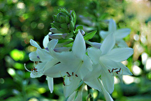 Nature, Plant, Hosta Leaf, Host, Flower, Leaf, Garden