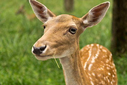 Mammal, Animal, Animal World, Grass, Hirsch, Roe Deer