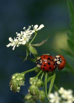 Insect, Nature, Flora, Flower, Ladybug, Closeup