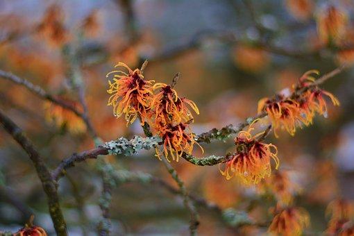 Witch Hazel, Witch Hazel Plant, January, Flowers