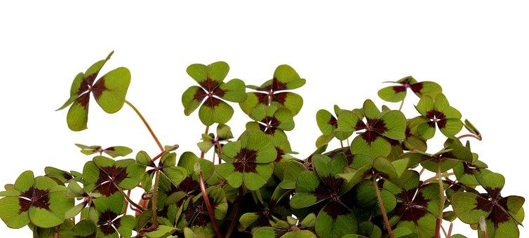 Four Leaf Clover, Lucky Charm, Leaf, Plant, Growth