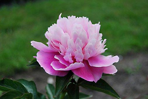 Nature, Flower, Hydrangea, Plant, Leaf, Garden