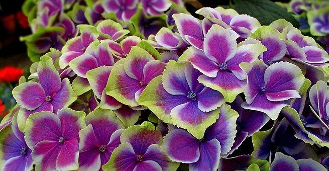 Flower, Hydrangea, Nature, Garden, Plant, Color, Summer