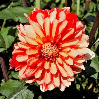 Dahlia, Flower, Nature, Plant, Garden, Summer