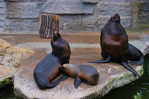 Sea lion, Travel, Mammals, Nature, At The Court Of