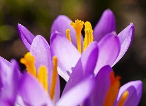Flower, Nature, Crocus, Plant, Garden, Macro, Close