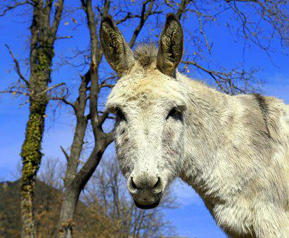 Donkey, Ass, Equine, Ears, Head, Nature, Mammalia