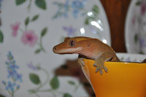 Animal, Lizard, Reptile, Pet, Exotic, Closeup, Gecko