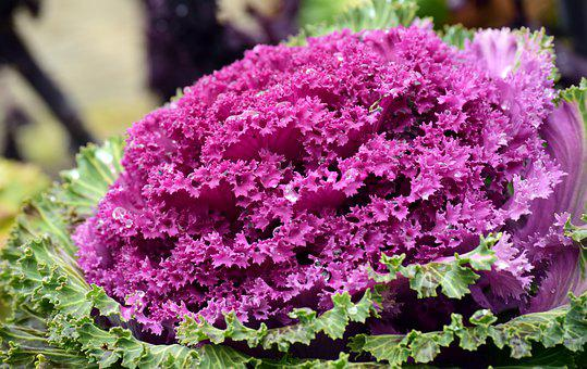 Kohl, Ornamental Cabbage, Winter, Ornament, Flora, Red
