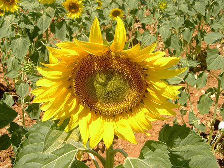 Plant, Nature, Flower, Summer, Helianthus