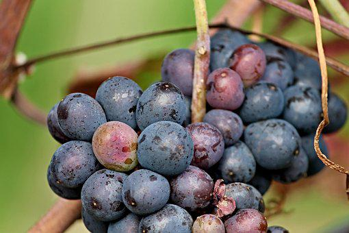 Grapes, Red, Blue, Fruit, Eat, Vine, Healthy