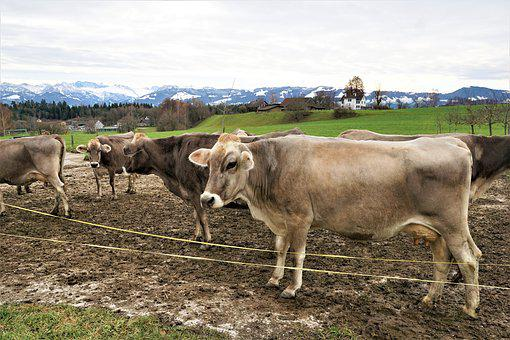 Cattle, Mammal, Cow, Agriculture, Animals, Farm, Animal