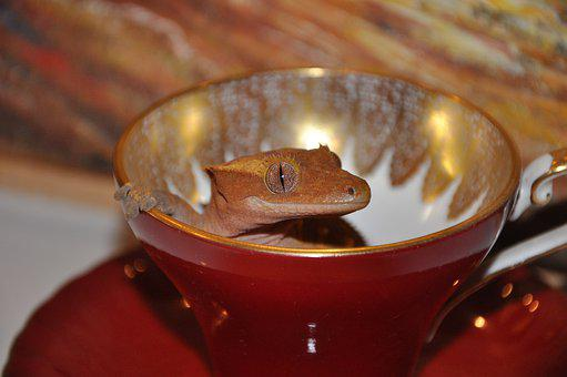 Animal, Lizard, Gecko, Reptile, Crested Gecko, Cute