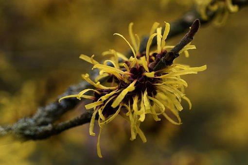 Nature, Flower, Closeup, Flora, Witch Hazel, Yellow