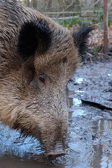 Boar, Mammal, Animal World, Nature, Animal, Wild