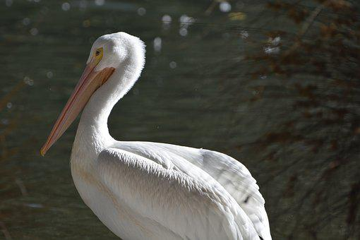 Bird, Water, Pelican, Wildlife, Nature
