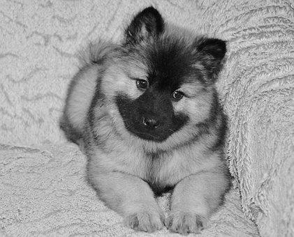 Dog, Dog Eurasier, Dog Christmas Blue