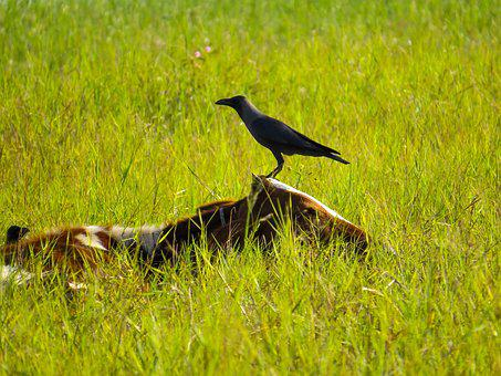 Bird, Grass, Wildlife, Outdoors, Nature, Cow, Sri Lanka