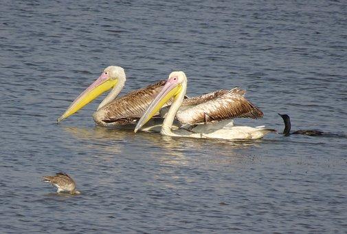 Pelican, Bird, Great White Pelican