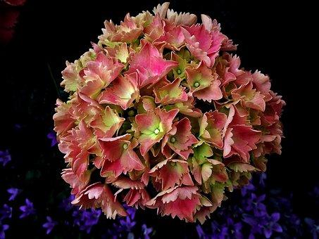 Nature, Flower, Hydrangea, Plant, Garden, Closeup