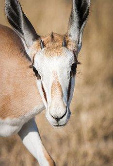 Portrait Of A Springbuck, Springbok, Young, Eyes