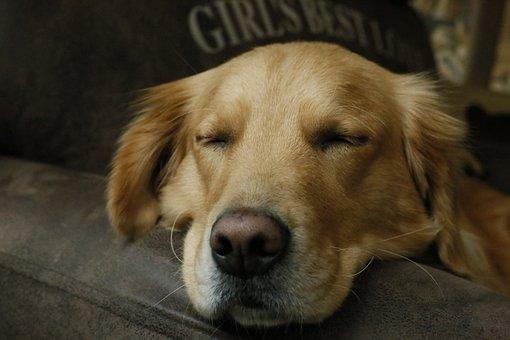 Dog, Pets, Canine, Mammal, Hound, Puppy, Cute