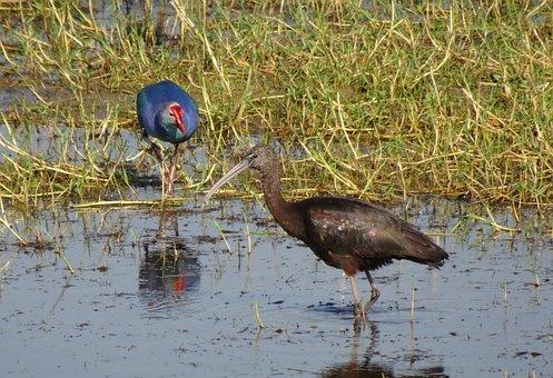 Glossy Ibis, Wader, Plegadis Falcinellus, Wading Bird