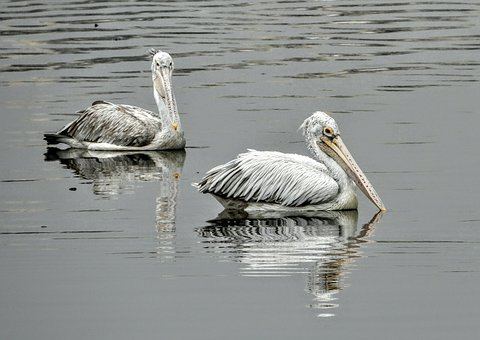 Water, Pelican, Bird, Lake, Wildlife