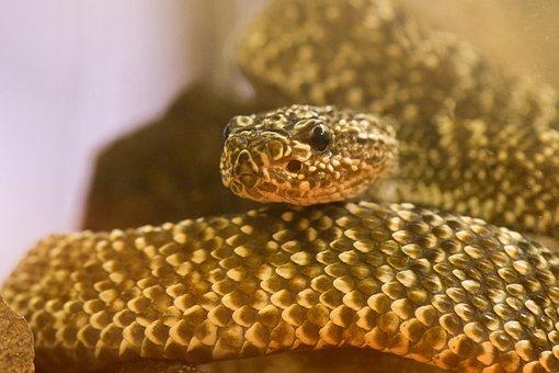 Snake, Reptile, Nature, Background, Close, Rattlesnake