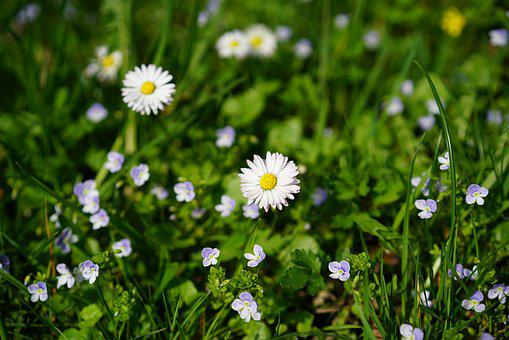 Daisy, Flower, Blossom, Bloom, Bellis Philosophy