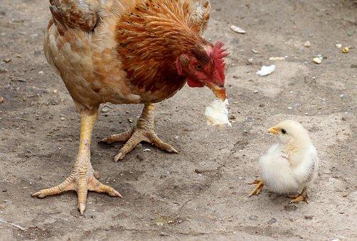 Gaina, Chicken, Mom, Birds, Fluffy, Food