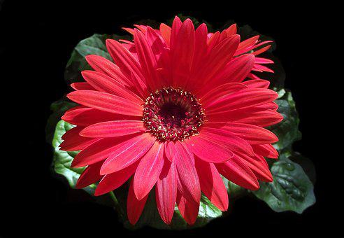 Flower, Gerbera, Red, Plant, Nature, Petal, Blooming