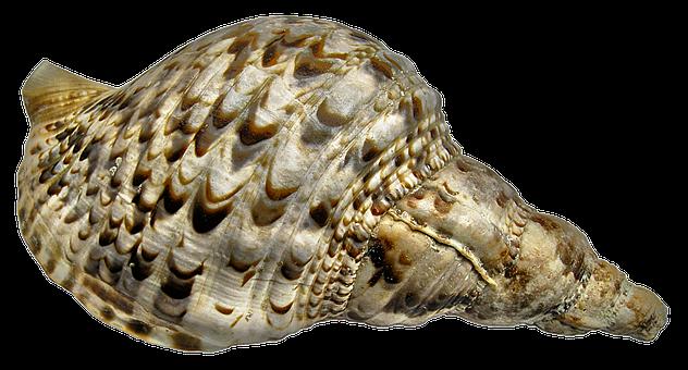 Snail, Casing, Sea Snail, Triton Snail, Littorinimorpha