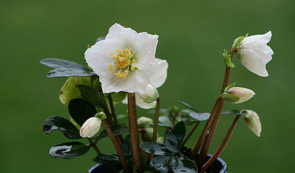 Flower, Nature, Plant, Leaf, Garden, Christmas Rose