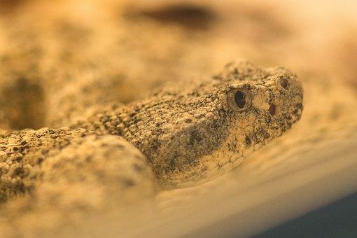 Nature, Sand, Reptile, Desert, Animal World, Animal