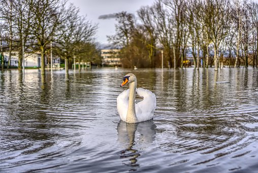 High Water, Swan, Flow, River, Flooding, Animal, Bird