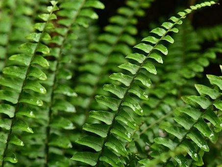 Fern Leaf, Leaves, Green, Flora, Growth, Fern, Nature