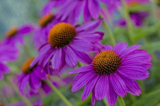 Flower, Nature, Plant, Summer, Garden, Flowers, Floral