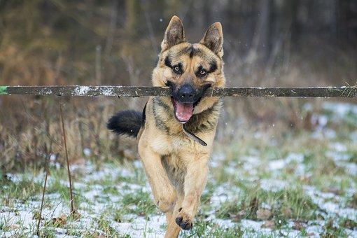 German Shepherd, Dog, Stick