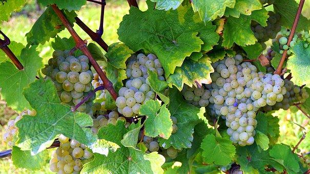 Climber, Vineyard, Fruit, Wine, Grape