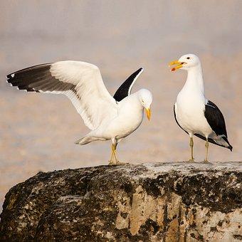 Kelp Gulls In Love, Kelp Gull, Cape Gull, Seabird