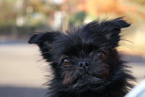 Animal, Cute, Portrait, Dog, Mammal, Pomeranian