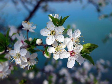 Cherry Tree, Cherry Blossom, Spring, Nature