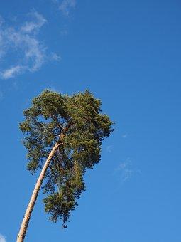 Pine, Tree, Conifer