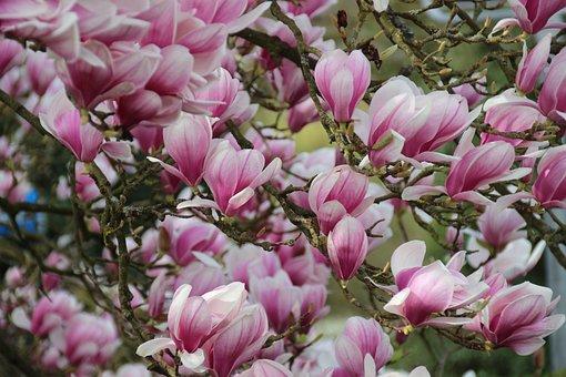 Magnolia, Blossom, Bloom, Spring, Pink, Blütenmeer