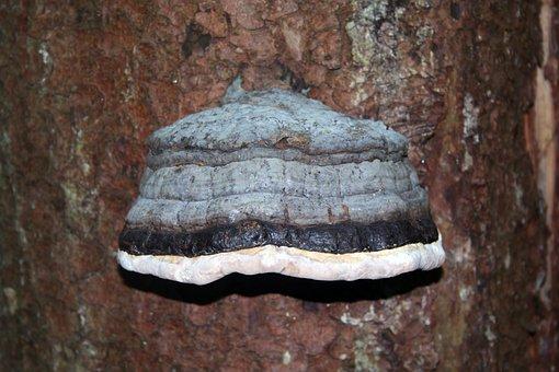 Tinder, Tinder Fungus, Tree Fungus, Dead Wood