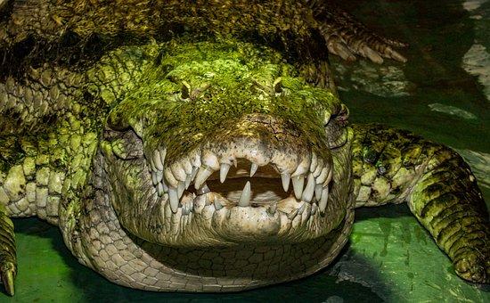 Reptile, Nature, Animal World, Crocodile, Alligator