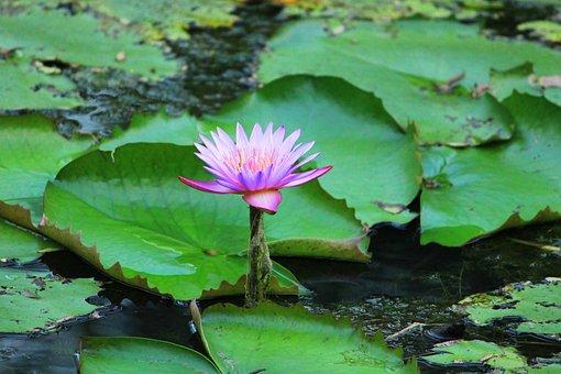 Pool, Lotus, Leaf, Nature, Aquatic, Amble, Lily