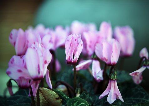 Nature, Flower, Flora, Garden, Leaf, Cyclamen, Plant