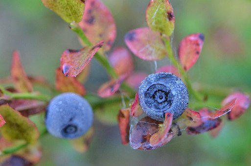 Blueberry, Berry, Nature, Plant, Leaf, Autumn, Forest